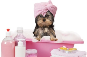 Yorkshire terrier dog taking a bath